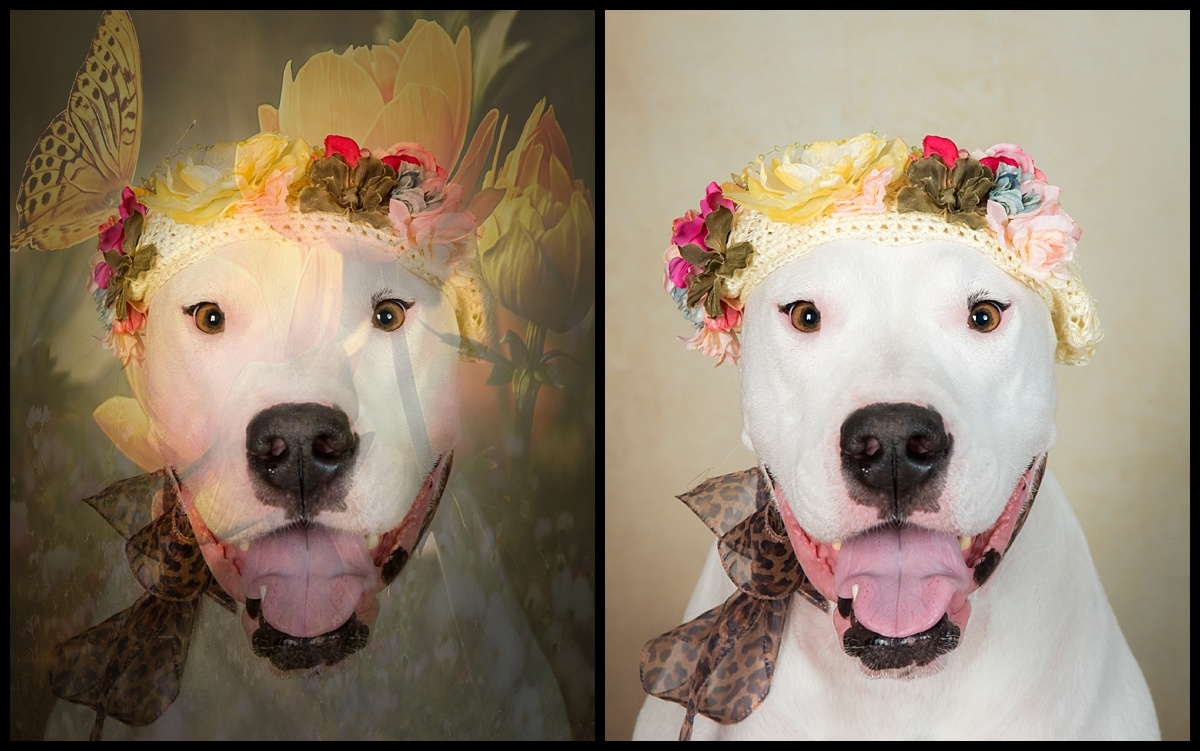 Before & After , Studio dog session in Palm Beach Gardens by Vasi Studio